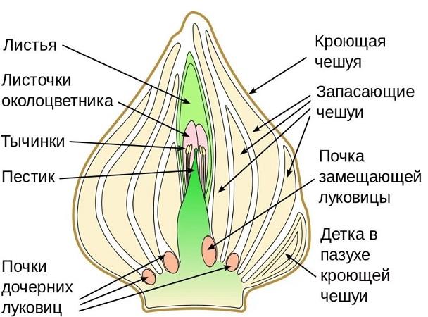 Луковица тюльпана