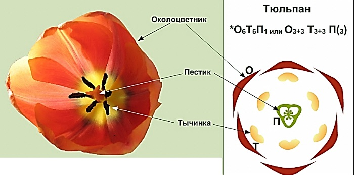 Растения степной зоны тюльпан описание
