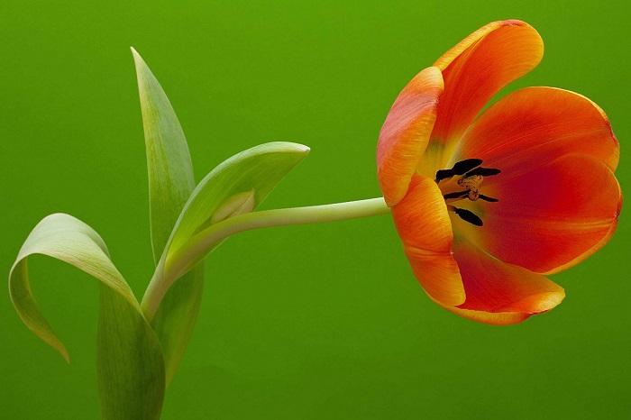 Стебель тюльпана