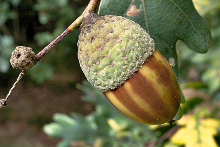 Плод дуба