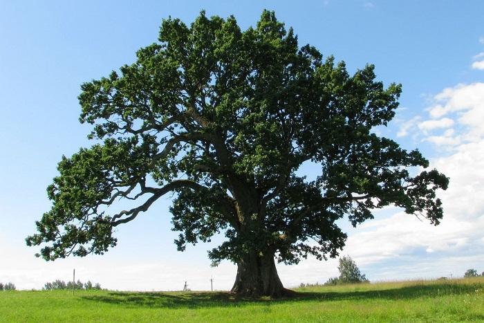 Дуб дерево описание. Сколько растет дуб