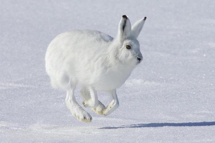 Заяц Беляк зимой