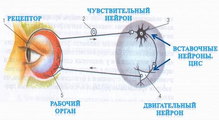 Коленный рефлекс: схема рефлекторной дуги с обозначениями, к какой группе относится