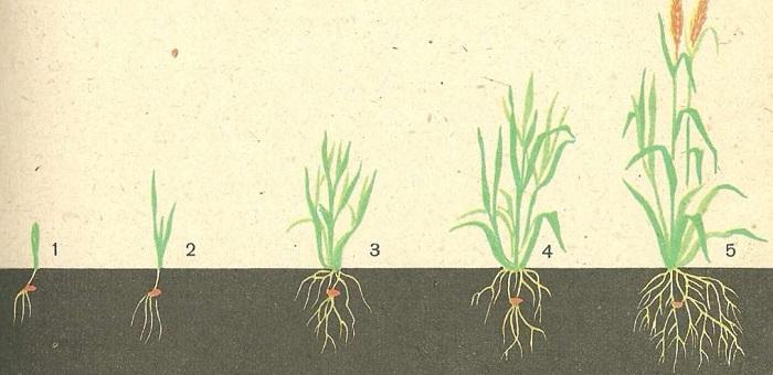 Развитие корневой системы злаковых