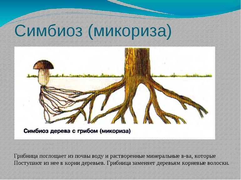 simbioz_mikoriza.jpg