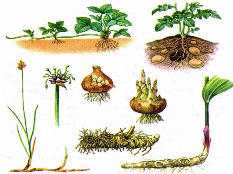 Вегетативное размножение растений 🌿 способы, примеры, виды, таблица, значение в биологии, особенности, какие органы обеспечивают вегетативное размножение растений