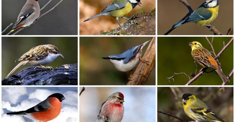 Неперелетные птицы названия