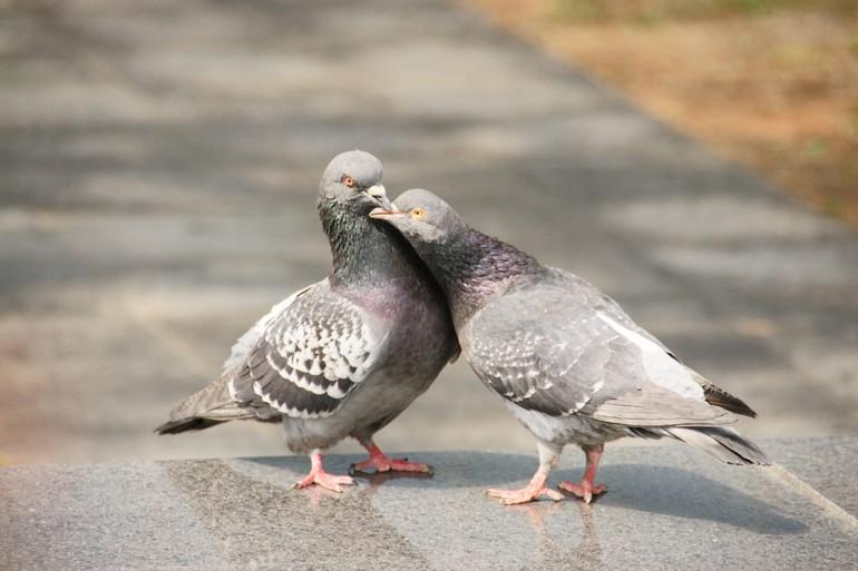 Голуби не перелетные птицы