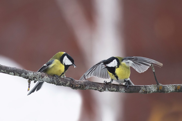 Птички синицы