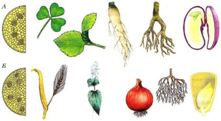 Характеристика и примеры однодольных и двудольных растений
