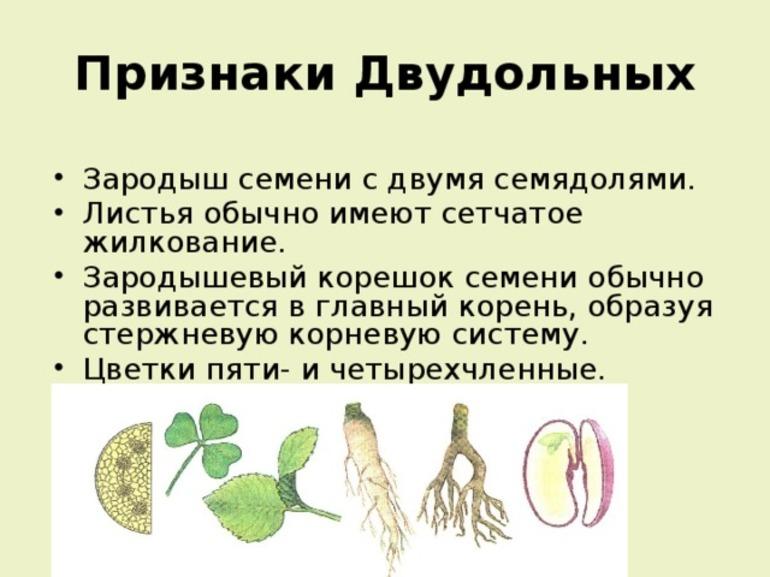 Признаки двудольных растений