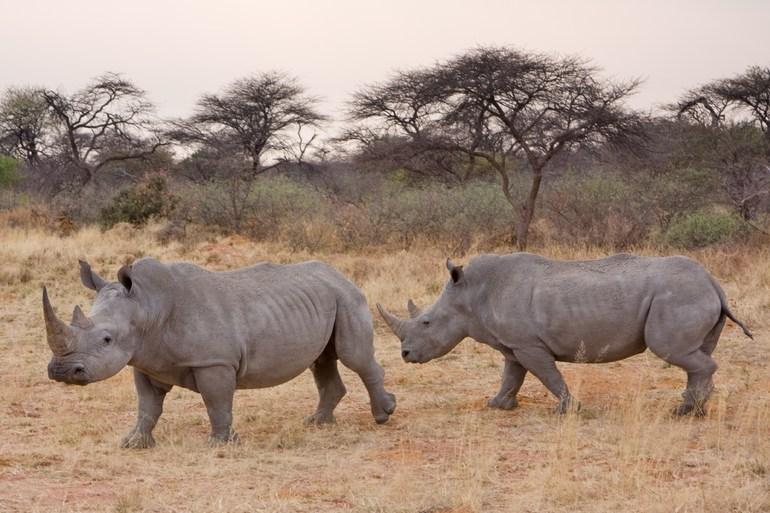 Особенности жизни носорога