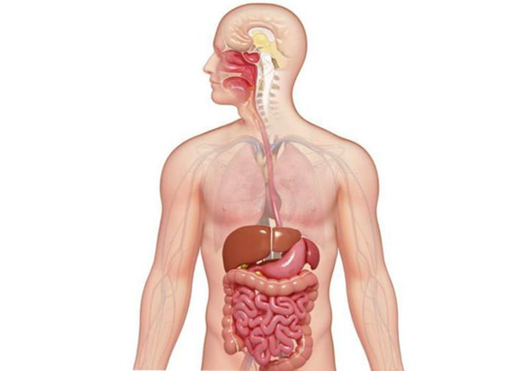 Процесс пищеварения ℹ️ физиология пищеварительной системы человека, функции органов желудочно-кишечного тракта, последовательность процессов, значение для организма