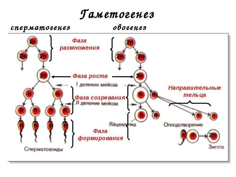 Гаметогенез ℹ️ определение, стадии размножения, роста и зрелости, схема образования половых гамет, фазы процесса, виды и характеристика, способы деления, биологическое значение
