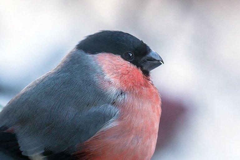 Снегирь птица. Описание, особенности, образ жизни и среда обитания снегиря