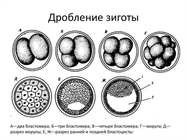 Стадии эмбриогенеза