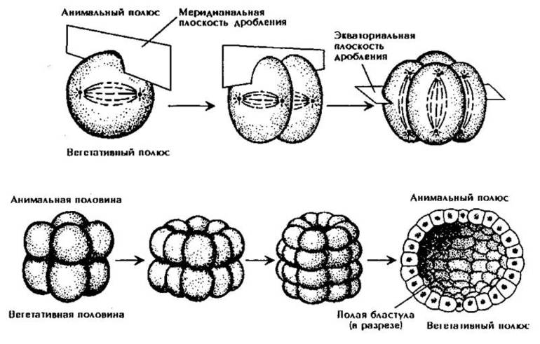 Эмбриогенез стадии