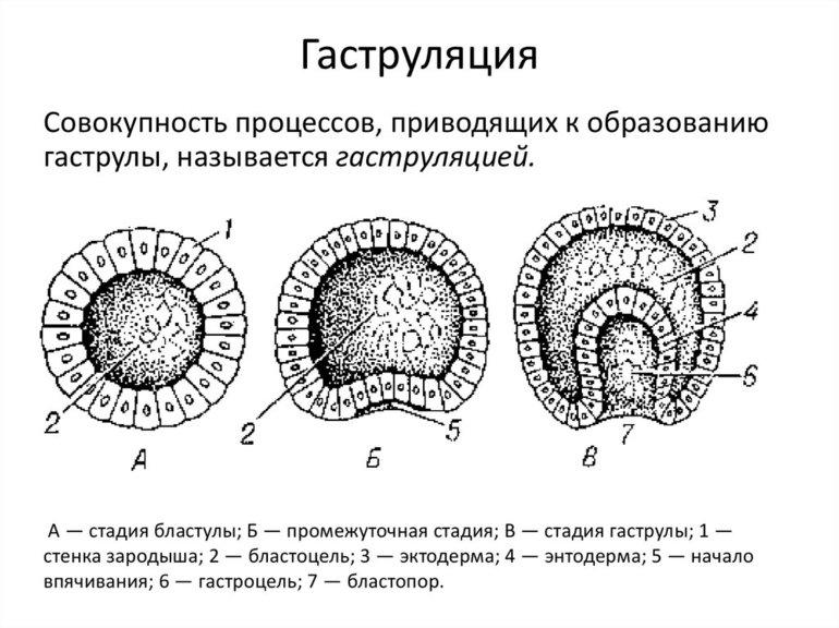 Характеристика стадий эмбриогенеза