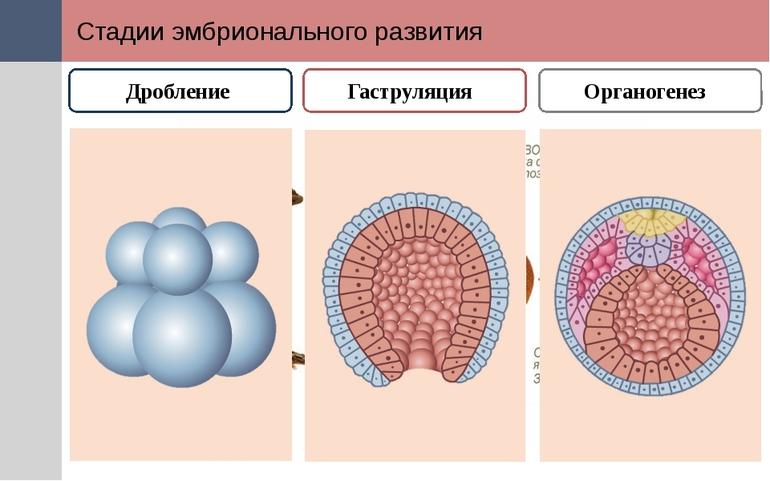 Органогенез виды