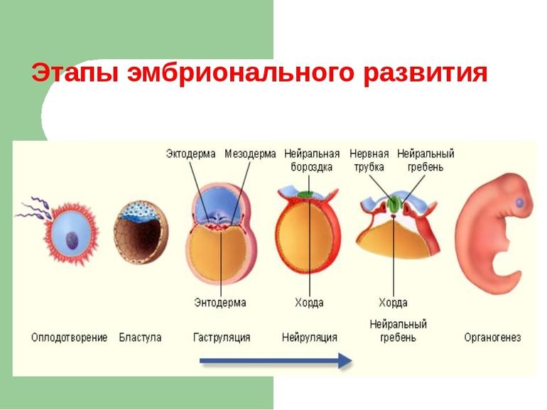 Эмбриональный этап развития