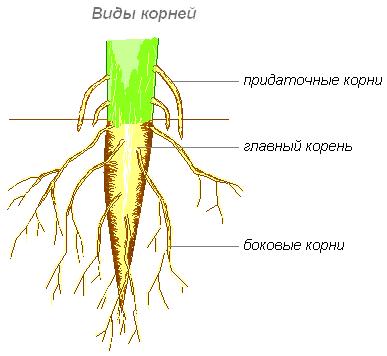 Рис. 1. Виды корней