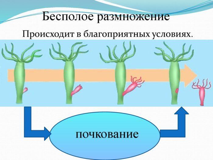 Рис. 2. Бесполое размножение гидры
