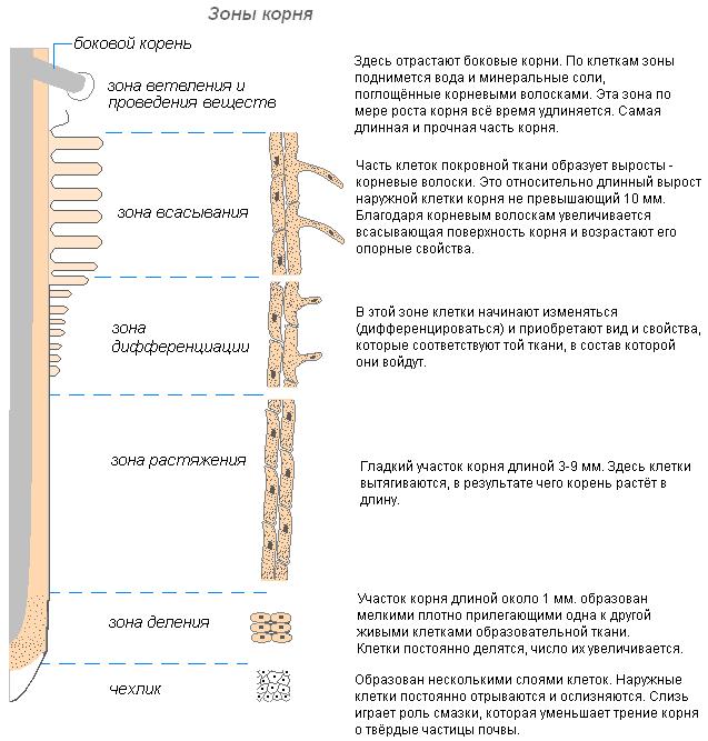 Рис. 3. Зоны корня