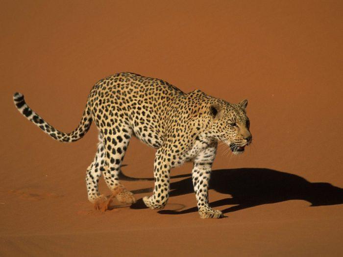 Рис. 4. Леопард в пустыне Сахара