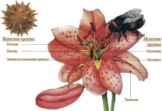 Рис. 3. Опыление цветков