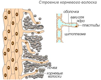 Рис. 4. Строение корневого волоска