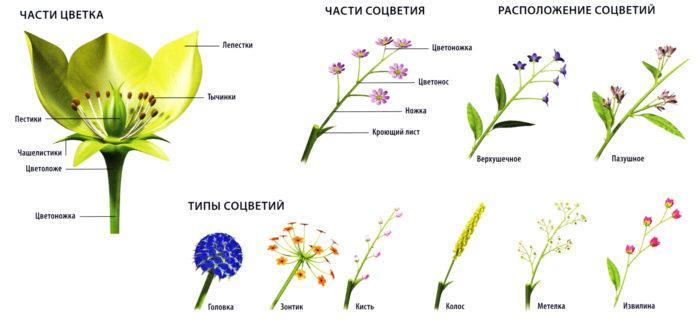 Рис. 2. Типы и части соцветия