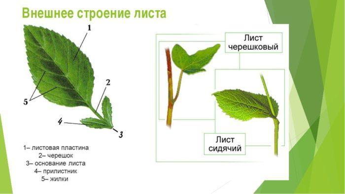 Рис. 2. Внешнее строение листа