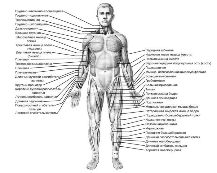 Рис. 2. Мышечная система человека