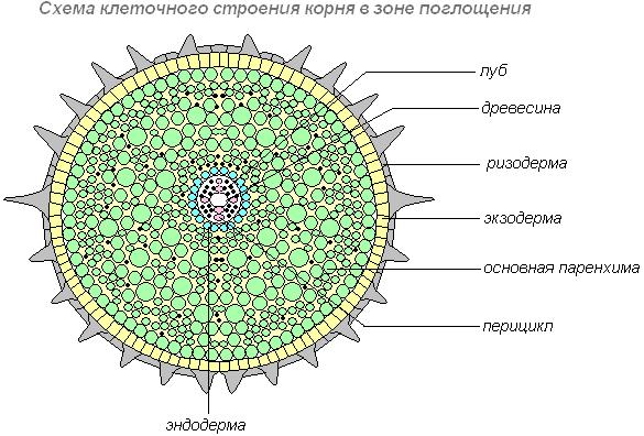 Рис. 5. Схема клеточного строения корня в зоне поглощения