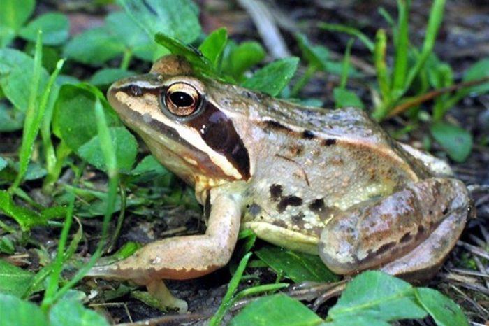 Рис. 8. Озерная лягушка