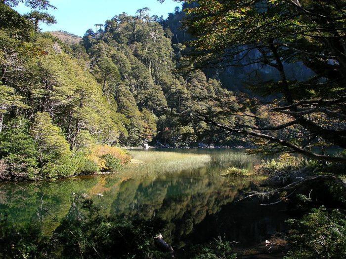 Рис. 2. Вальдивский смешанный лес на юге Чили
