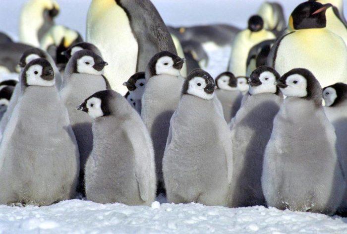 Рис. 6. Пингвины