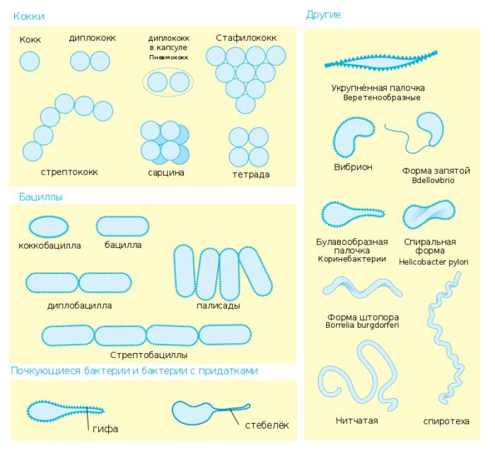 Рис. 2. Различные морфотипы бактерий