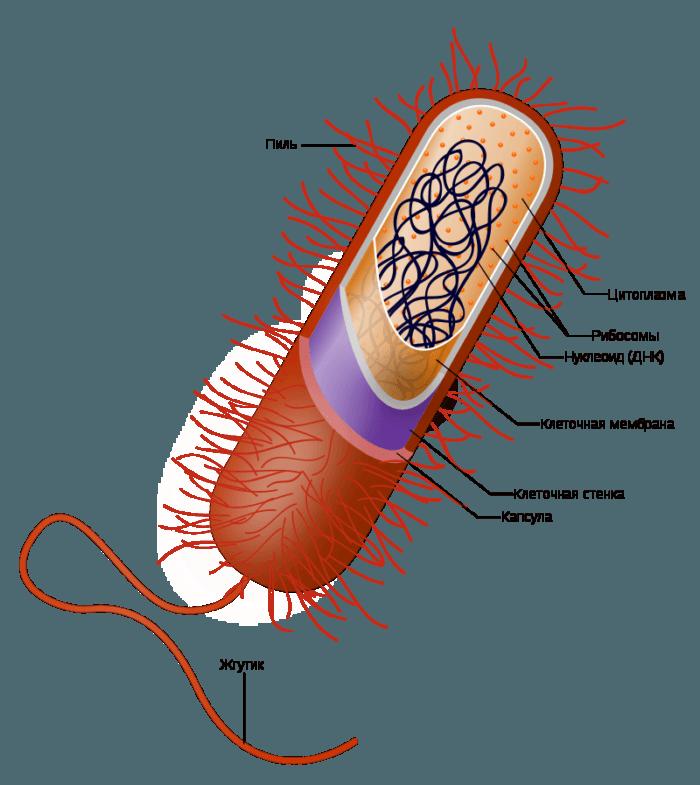 Рис. 6. Строение клетки типичной грамположительной бактерии (обратите внимание на наличие только одной клеточной мембраны)