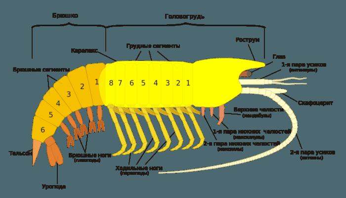 Рис. 1. Внешнее строение ракообразного