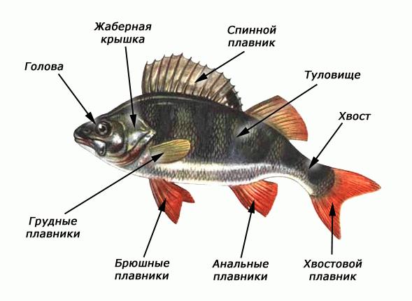 Рис. 2. Внешнее строение рыб