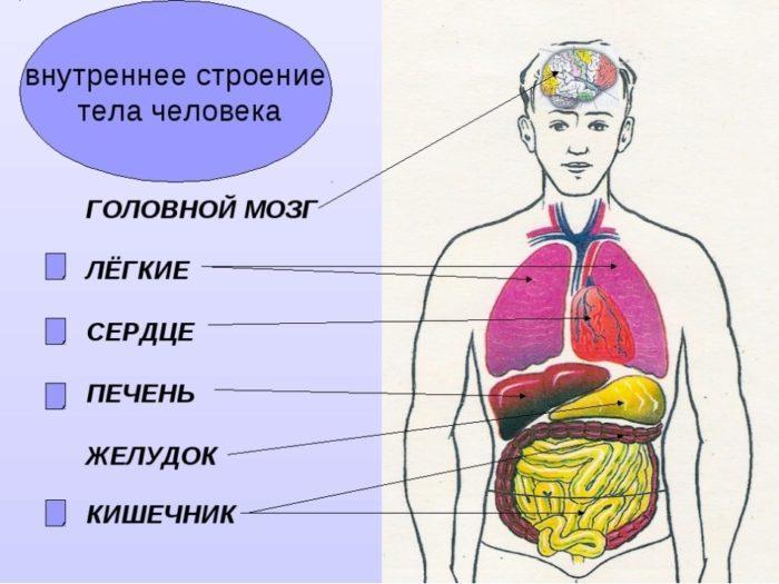 Рис. 1. Внутреннее строение тела человека