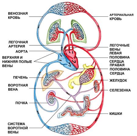 Рис. 1. Круги кровообращения