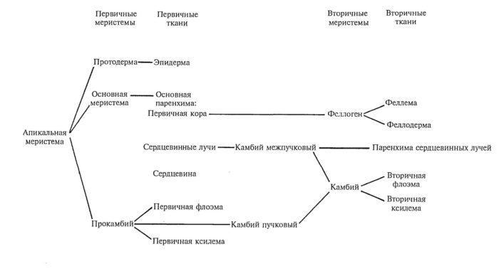 Рис. 4. Общая схема развития тканей стебля