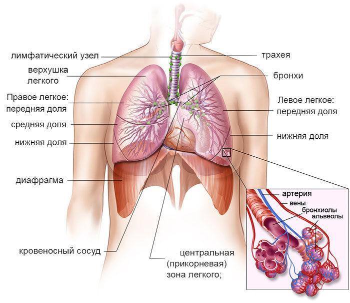 Рис. 1. Органы дыхания человека