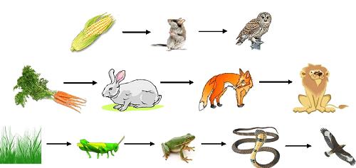 Рис. 1. Пищевые цепочки в природе