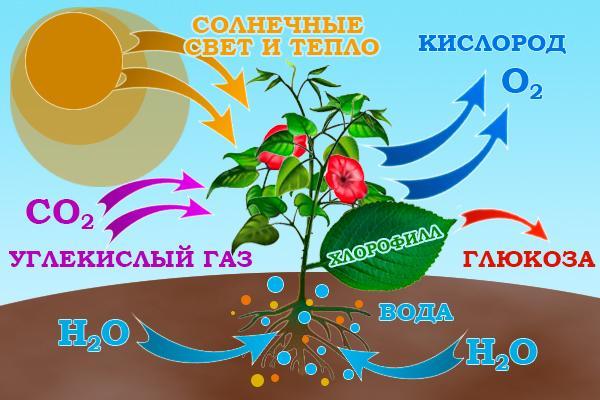 Рис. 1. Процесс фотосинтеза