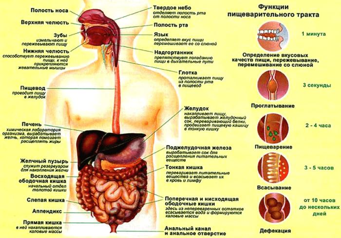 Рис. 2. Строение пищеварительной системы