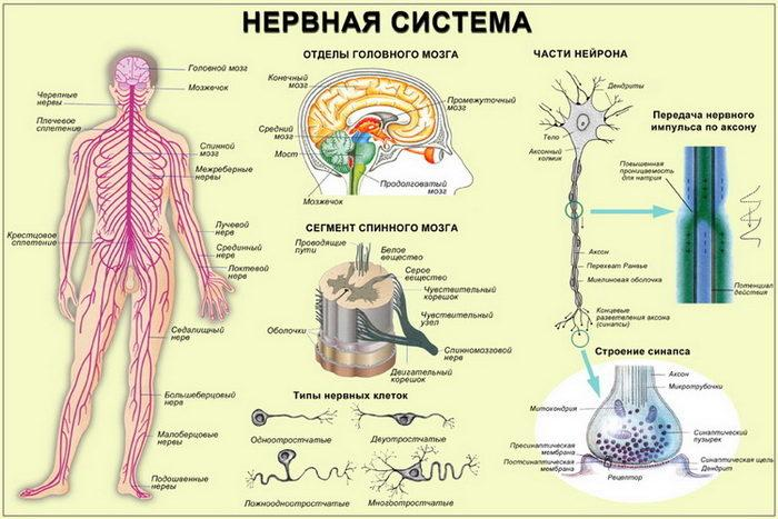 Рис. 2. Схема нервной системы человека