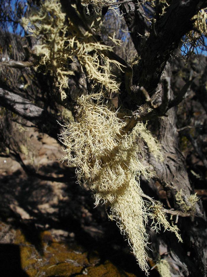 Рис. 1. Уснея - один из двух родов лишайников, описанных Теофрастом более двух тысяч лет назад